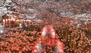 sakura tokyo ueno park
